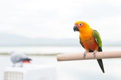 绿色鹦鹉爱情鸟 库存照片