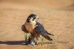 旅游猎鹰 免版税库存图片