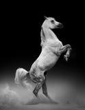 Арабский поднимать жеребца Стоковые Изображения RF