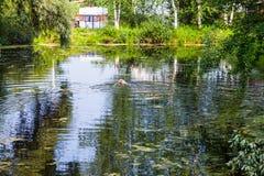 有游泳狗和旅行拖车的绿色池塘 免版税库存图片