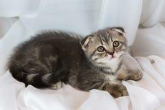 在窗口基石的美丽的小的平纹小猫 苏格兰人折叠品种 库存图片