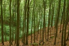 山毛榉的木材 库存照片