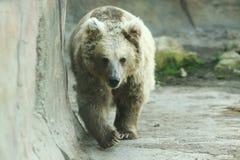 熊棕色喜马拉雅 库存图片