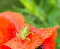 绿色蚂蚱坐一朵红色鸦片花 免版税图库摄影