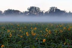 由有薄雾的背景的向日葵领域 免版税库存图片