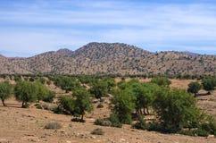 圆筒芯的灯树的种植园,摩洛哥 免版税库存照片