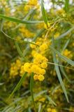 黄色开花了树,摩洛哥 免版税库存照片