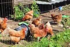鸡或母鸡在笔 库存图片