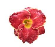 Лилия на белизне Стоковое Изображение RF