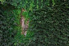 Окно покрытое с зеленым плющом, концом вверх по фото Стоковые Фотографии RF