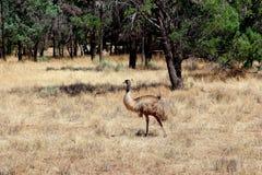 Одичалые ряды щепок эму, Австралия Стоковые Изображения RF