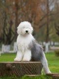狗英国老护羊狗 免版税图库摄影