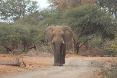 孤立大象步行沿着向下一条含沙路的公牛 免版税库存图片