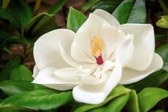 大花的木兰 免版税库存图片