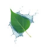 在水飞溅的叶子 免版税库存图片