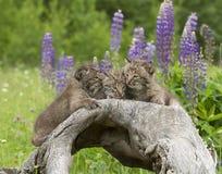 美洲野猫小猫秘密 库存图片