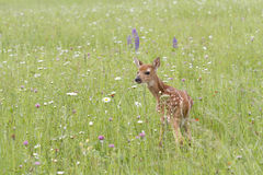 小鹿在野花草甸 库存图片