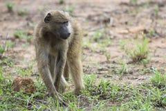 食物的狒狒草料在清早阳光下 免版税库存照片