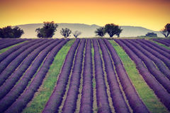 淡紫色领域,普罗旺斯,法国 免版税库存图片