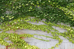 Листья плюща растя на стене Стоковая Фотография