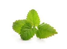 Свежие листья лимонной мяты Стоковые Изображения RF