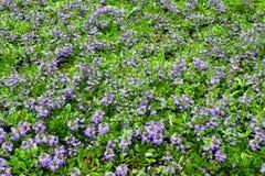 与紫罗兰色装饰花的领域 免版税库存照片