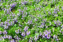 紫罗兰色装饰花在庭院里 免版税库存图片