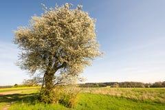 Ландшафт с цветя деревом Стоковые Изображения