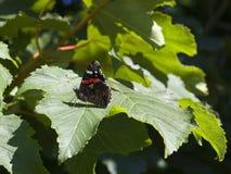 Κόκκινη πεταλούδα ναυάρχων Στοκ εικόνες με δικαίωμα ελεύθερης χρήσης