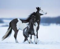 在雪原的母马丝毫蓝眼睛的驹 库存照片