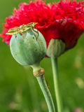 Λουλούδι παπαρουνών οπίου Στοκ Εικόνα
