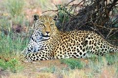 闹事 纳米比亚 豹子 免版税库存照片