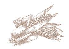 两根新鲜的玉米棒子 库存图片