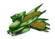 两根新鲜的玉米棒子 免版税库存照片