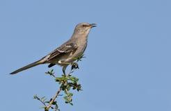 北的模仿鸟 免版税库存照片