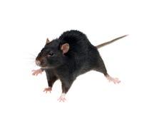 黑鼠 免版税库存照片