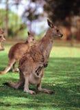 кенгуру Стоковые Фотографии RF