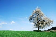 ανθίζοντας δέντρο Στοκ Φωτογραφία