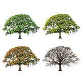 摘要四橡木季节结构树 免版税库存照片