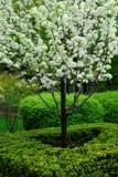 ανθίζοντας δέντρο Στοκ Φωτογραφίες