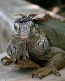鬣鳞蜥 免版税库存照片