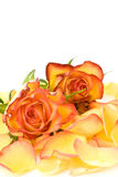 瓣玫瑰色玫瑰茶 免版税库存照片