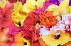 开花热带的木槿 免版税库存照片