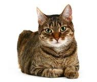 国内的猫 免版税图库摄影
