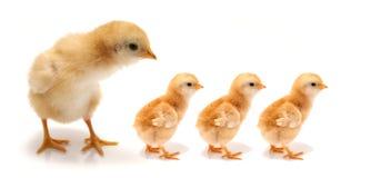 цыпленоки молодые Стоковые Фотографии RF