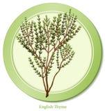 английский тимиан травы Стоковое Фото