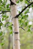 桦树树干 免版税库存图片