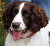 狗英国西班牙猎狗蹦跳的人 免版税图库摄影