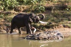 获得印度印地安人的浴大象 库存照片
