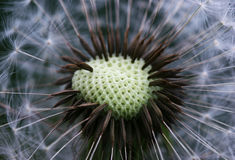 семена макроса одуванчика Стоковое Изображение RF